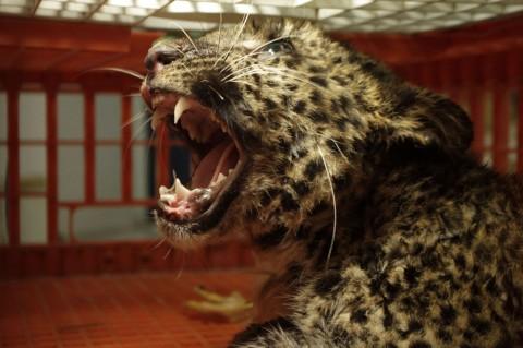 Macan Tutul Terjebak di Peternakan Ayam Sukabumi