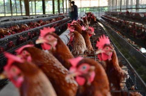 Kementan Upayakan Panen Peternak Ayam Mandiri Terserap