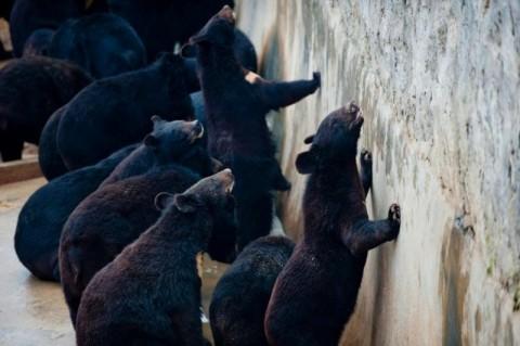 2 Ekor Beruang Lepas ke Pemukiman Warga di Kulonprogo