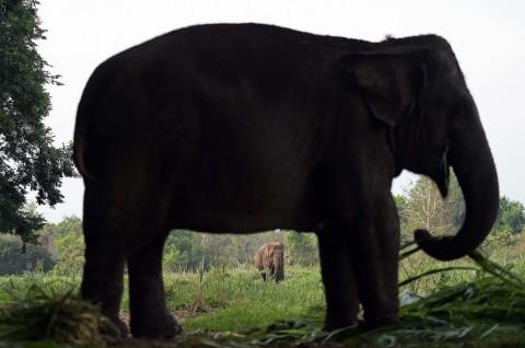 Petani di Sumsel Tewas Terinjak Gajah