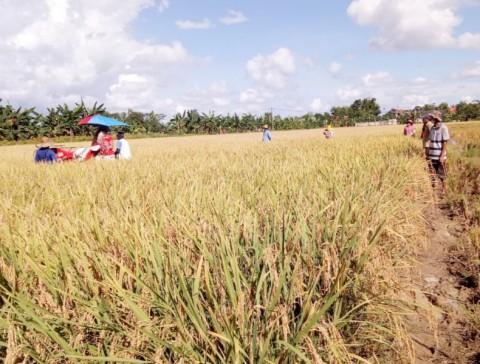 Tingkatkan Produksi, Penyuluh dan Petani Madura Manfaatkan Padi Hibrida