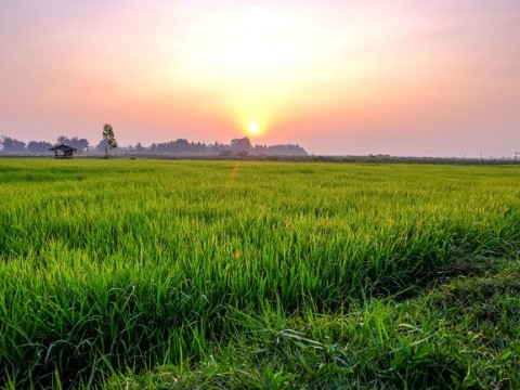 Dayak Community Decides to Forego Rice Harvest Feast over Covid-19 Pandemic