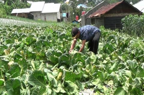 Petani di Tabanan Panen Sawi Hijau Dua Ton