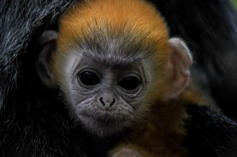 Kelahiran Anak Lutung Jawa Tambah Koleksi Bandung Zoo