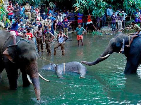 Beri Makan Gajah dengan Nanas Berisi Petasan, Dua Orang Ditahan