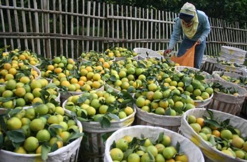 Peluang Bisnis Agrobisnis Jeruk Menguntungkan Di Tengah Pandemi