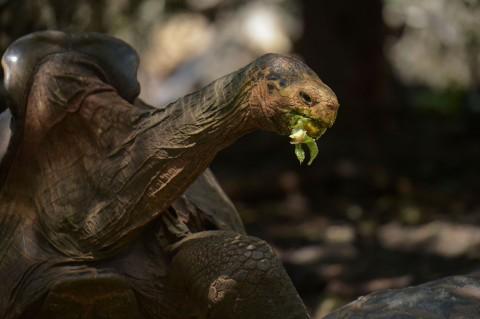 Diego, Kura-kura Raksasa Penyelamat Spesiesnya Kembali ke Habitat Asal