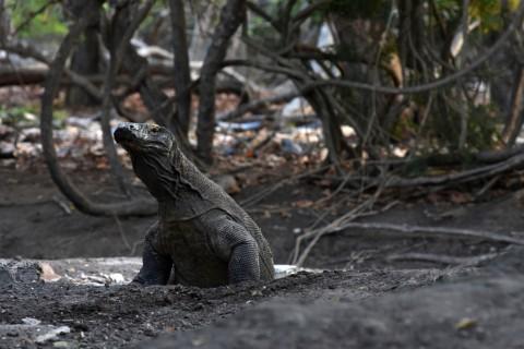 Kembali Dibuka, Ini Protokol Berwisata di Taman Nasional Komodo