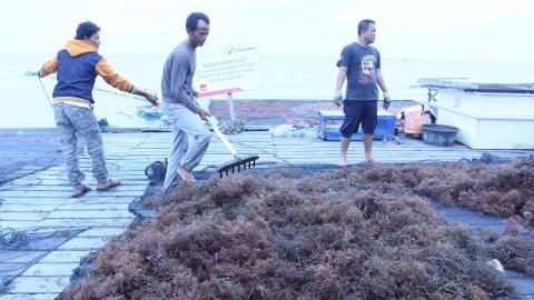 Harga Rumput Laut Anjlok
