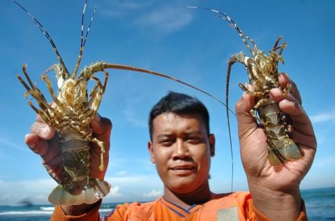 KKP Diminta Perkuat Koordinasi Benahi Ekspor Benih Lobster
