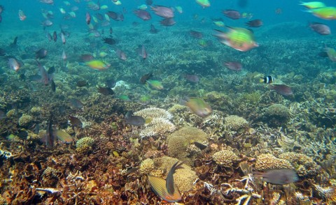 KKP: Kemunculan Ikan Napoleon Pertanda Terumbu Karang Membaik