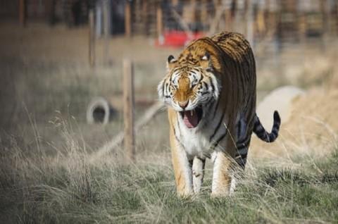 Penjaga Kebun Binatang Tewas Diserang Harimau Siberia