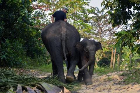 Populasi Gajah di Sumsel Diprediksi Tinggal 200 Ekor