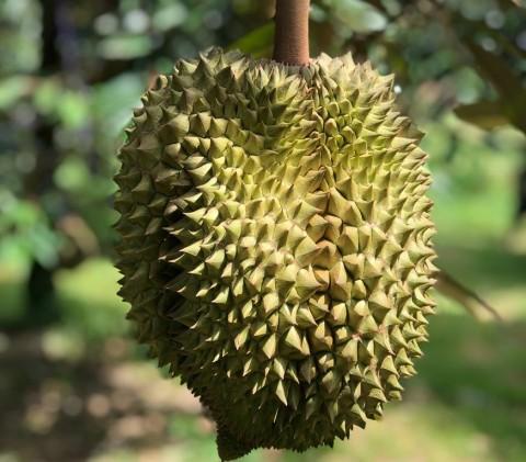 Bahaya Durian bagi Penderita Diabetes