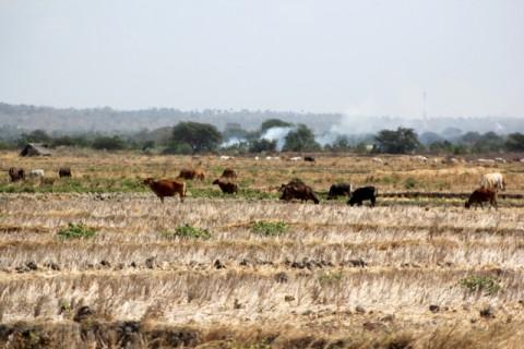 <i>Food Estate</i> Jaga Produksi Pangan di Musim Kemarau