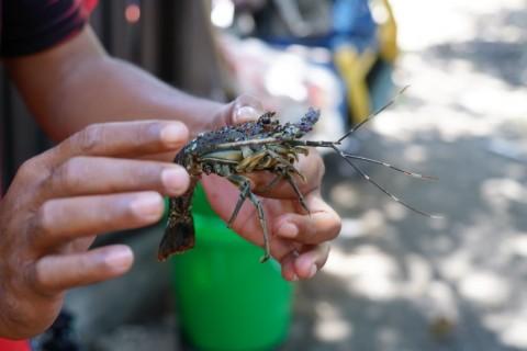 Larangan Penangkapan Benih Lobster Sengsarakan Nelayan