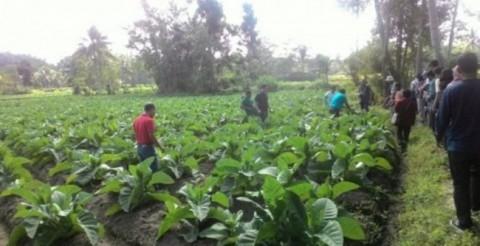 Areal Tanaman Tembakau di Temanggung Turun 4.600 Ha