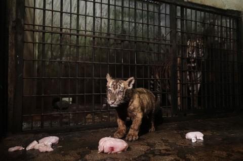Semarang <i>Zoo</i> Kedatangan 'Anggota Baru'