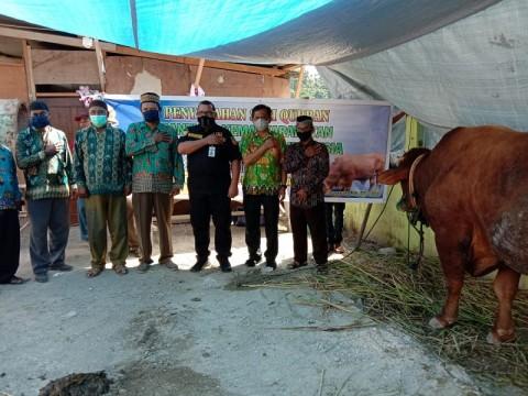 Presiden Kurban Sapi Simental ke Masjid Tertua di Kota Jayapura