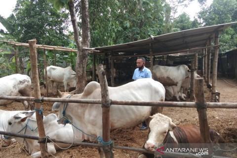 Puluhan Hewan Kurban di Bantul Terinfeksi Cacing Hati