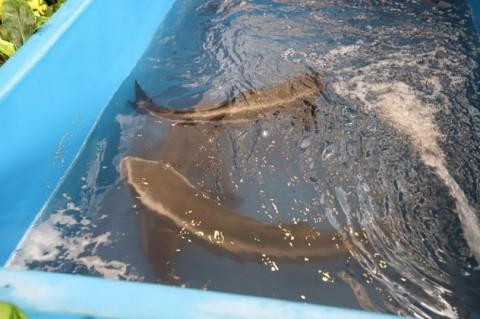 KKP: Indonesia Siap Jadi Produsen Ikan Kobia