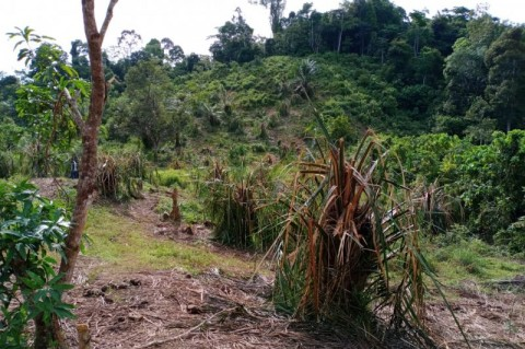Puluhan Gajah Liar Hancurkan Kebun Warga di Aceh Jaya