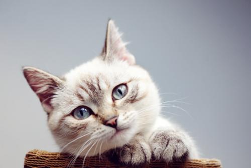 Seperti kita ketahuikucing merupakan salah satu hewan berkaki empat yang cukup dekat dengan manusia. (Foto: Ilustrasi. Dok. Freepik.com)
