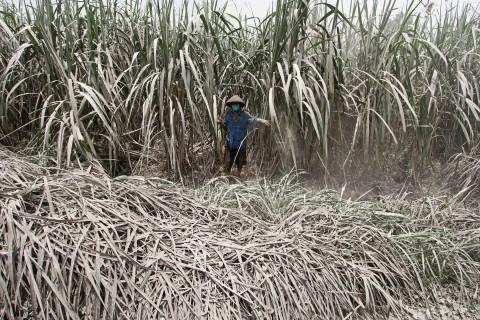 Kemenperin Pacu Pembangunan Pabrik Gula Terintegrasi Lahan Tebu