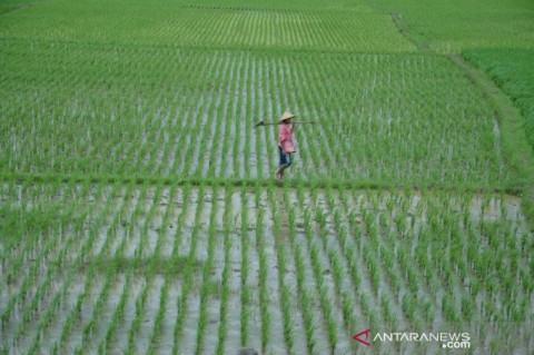 800 Hektare Lahan Padi di Bekasi Terancam Kekeringan