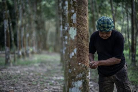 Petani Lebak Mengeluh Anjloknya Harga Karet