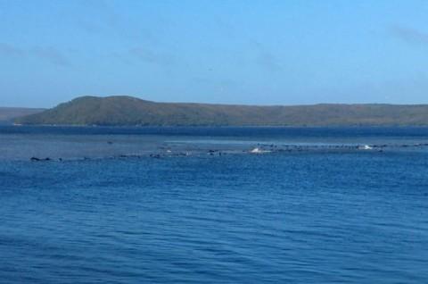 70 Ikan Paus Terdampar di Australia Selatan