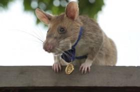 Seekor Tikus Raih Penghargaan atas 'Keberanian Luar Biasa'