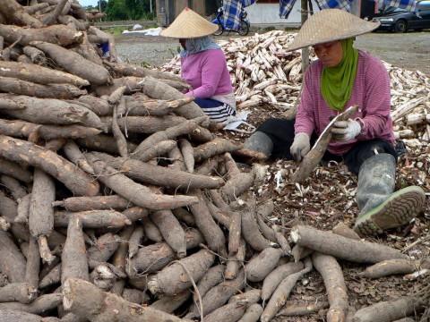Alasan Produksi Singkong di Kalteng Sangat Potensial