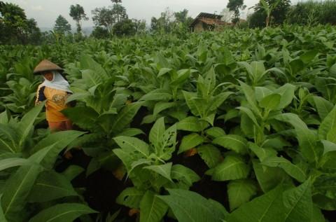 Pemerintah Diminta tak Naikkan Cukai SKT untuk Melindungi Petani
