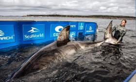 Hiu Putih Besar Berusia 50 Tahun Ditemukan di Kanada