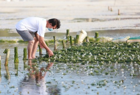 Upaya Pemkab Klungkung Jaga Harga Rumput Laut saat Pandemi
