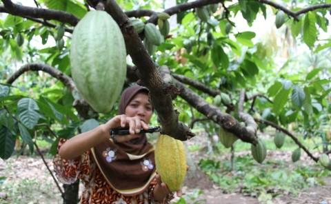 Sigi Jadi Sentra Kakao Organik di Sulawesi Tengah