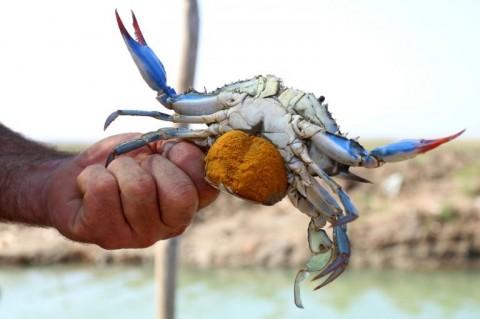 KKP Dukung Ekspor Perdana Kepiting Bakau Hidup dari Papua
