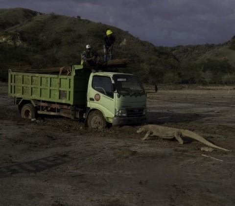 Foto Komodo Adang Truk Viral, Pulau Rinca Akhirnya Ditutup