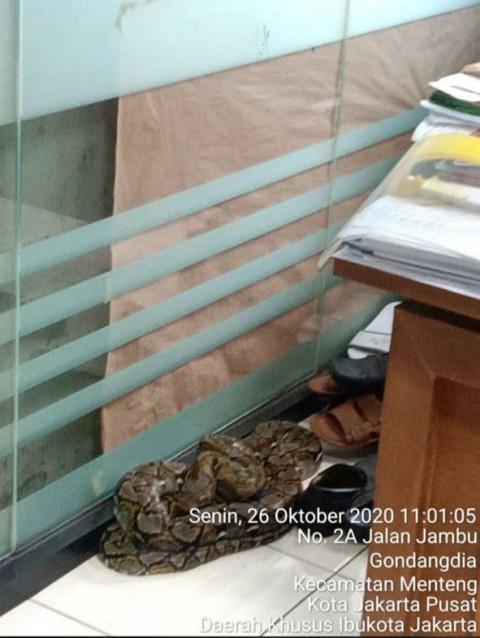 Ular Sanca Sepanjang 2 Meter Gegerkan Pegawai Kelurahan Gondangdia