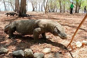 Komodo Dipastikan Tidak Menjadi Korban Pembangunan di Pulau Rinca