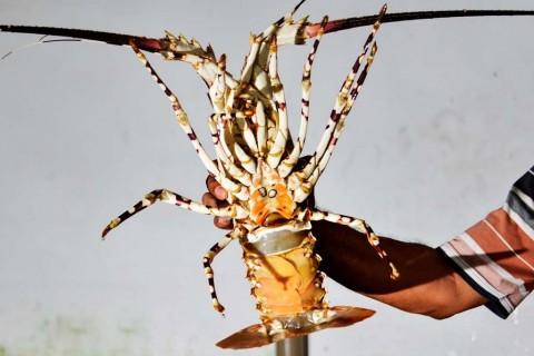 KKP Pastikan Ekspor Benih Lobster Sesuai Regulasi