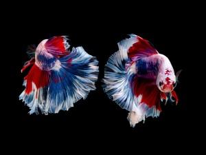 Ikan Cupang dan Arwana Dipamerkan Dalam Fish Lovers