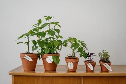 Berikut ini cara menanam bumbu dapur di dalam pot. (Foto: Pexels.com)