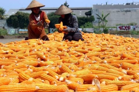 Kebutuhan Impor Jagung Industri Capai USD233,47 Juta