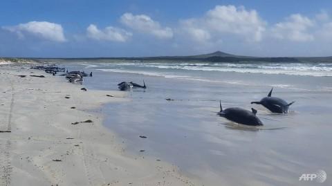 Sekitar 100 Paus Pilot Mati Terdampar di Selandia Baru