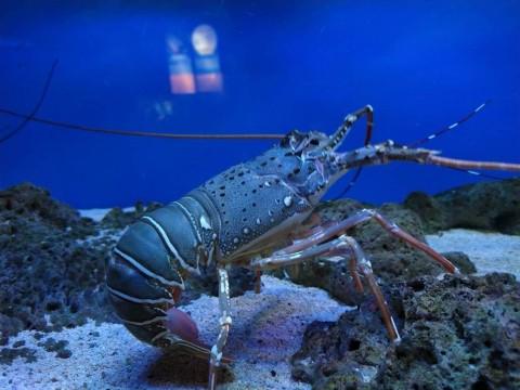 DPR Sudah Ingatkan Edhy Prabowo Hentikan Ekspor Benih Lobster Sebelum Ditangkap