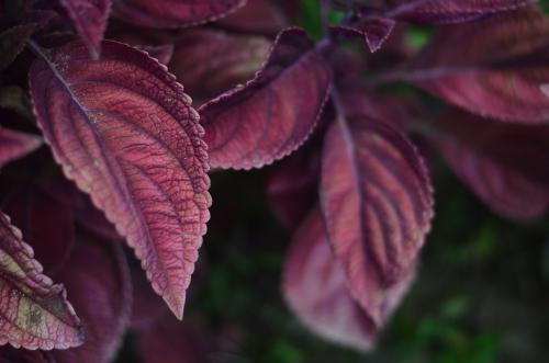 Daun shiso merah (Foto:Shutterstock)