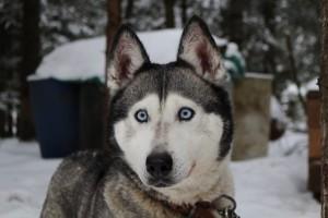 5 Anjing Ini Tampilannya Mirip Serigala