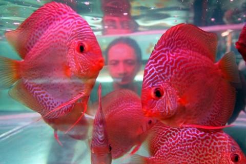 Budi Daya Ikan Hias Jadi Favorit di Masa Pandemi